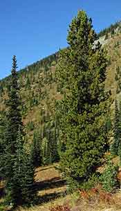 Whitebark Pine (Wikipedia)