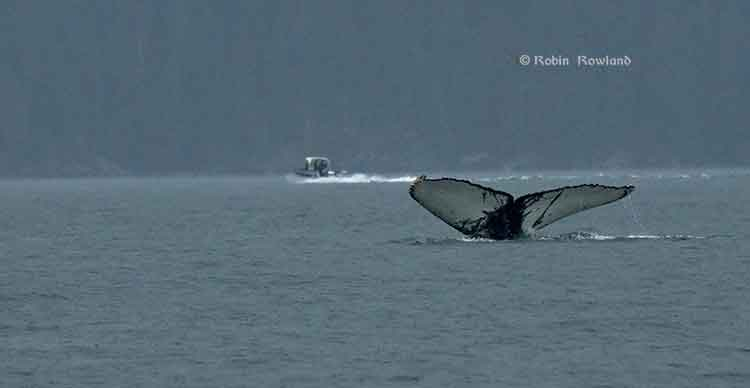 Humpback whale in Douglas Channel