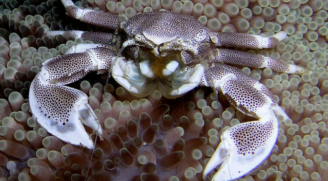Intertidal zone–and crabs– at high risk from climate change, study says