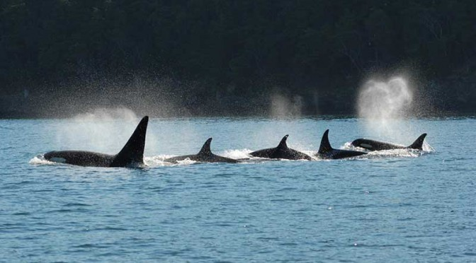 "The ""wisdom of elders"": Post menopausal matriarchs lead Orca resident pods, study finds"