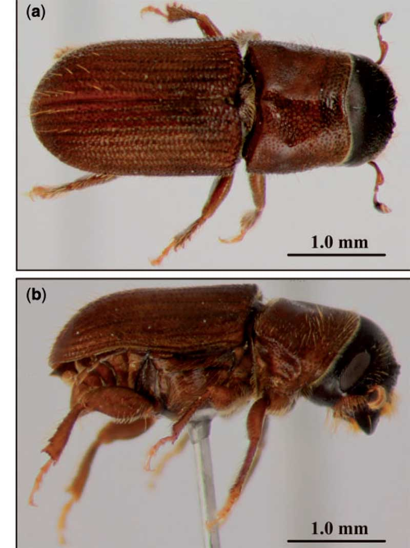 The mesocamerican pine beetle. (USDA)