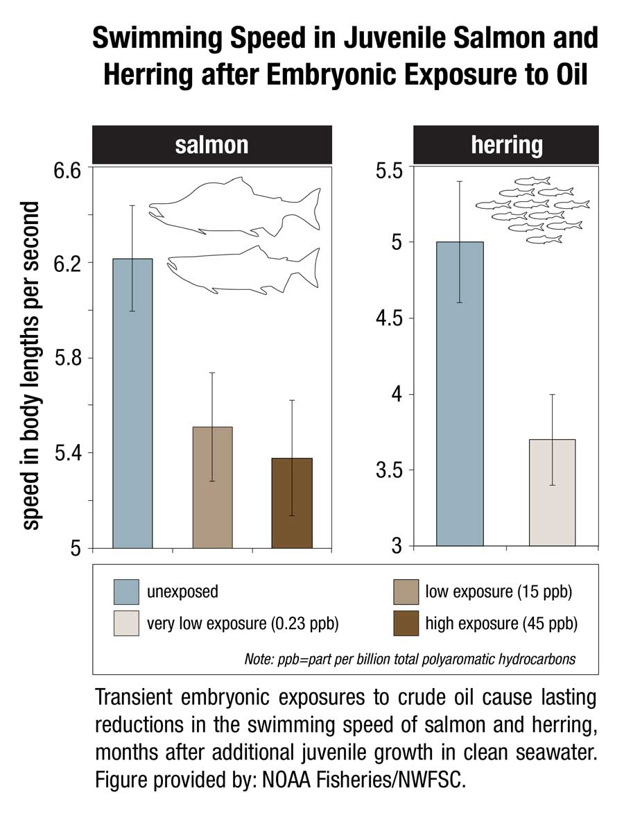 This image shows transient embryonic exposures to crude oil cause lasting reductions in the swimming speed of salmon and herring, months after additional juvenile growth in clean seawater. (NOAA)