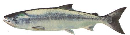 Chum salmon (DFO)